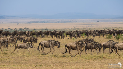 Always moving - Wildebeest