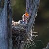 Kingbird nest