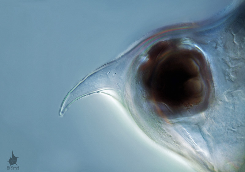 Scapholeberis mucronata,a head and an eye of a water flea. The size of the whole animal is about 0.6 mm, while the head is just a small part of the body. This image is made with a 100x lens with DIC illumination.