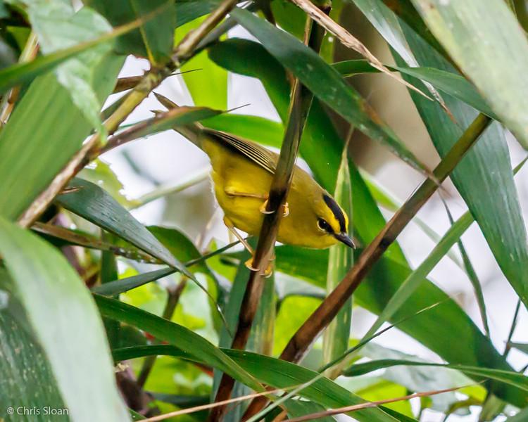 Black-crested Warbler at Tandayapa Valley, Ecuador (03-05-2014) 028-19.jpg