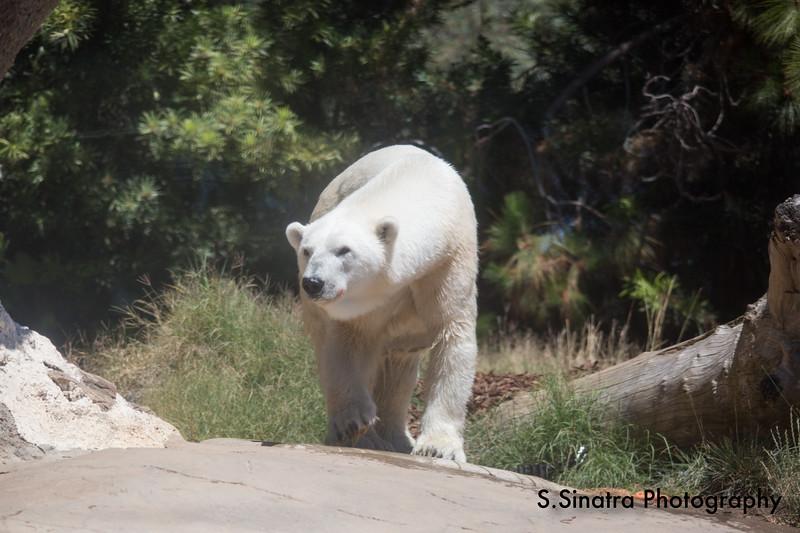 polar bear (40 of 50).jpg