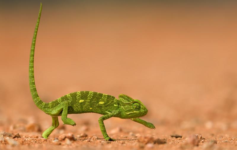 Chameleon-8.jpg