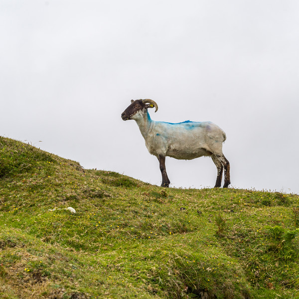 Sheared Sheep on a hill, Erris Peninsula, Erris Head Loop Walk, Glenamoy, Belmullet, County Mayo, Ireland