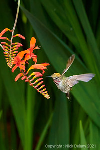 Anna Hummingbird in flight