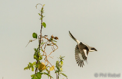 Loggerhead Shrike leaving its perch