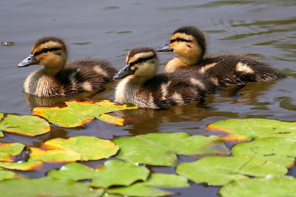 2007_07_04 Ducklings Sheffield Pond
