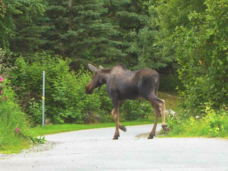 Moose on the loose (looking at Louise) on the Pacific Coastal Bike Trail in Anchorage.