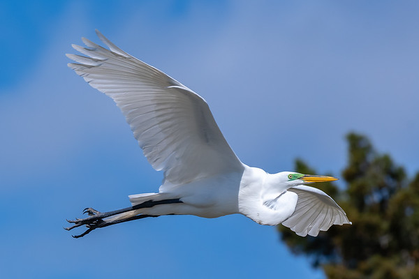 Great Egrets - Kiwanis Lake - Spring 2019