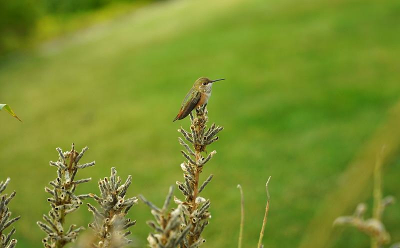 Humming bird at the Train Lodge
