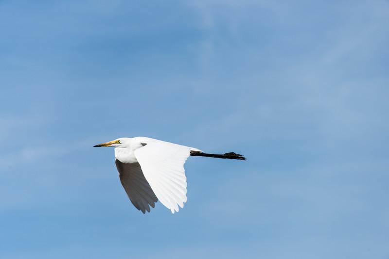 Intermediate Egret in Flight