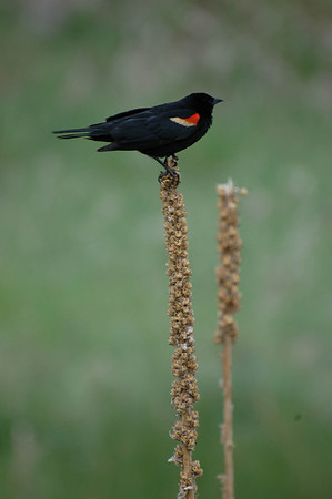 New Mexico ... red-winged blackbird