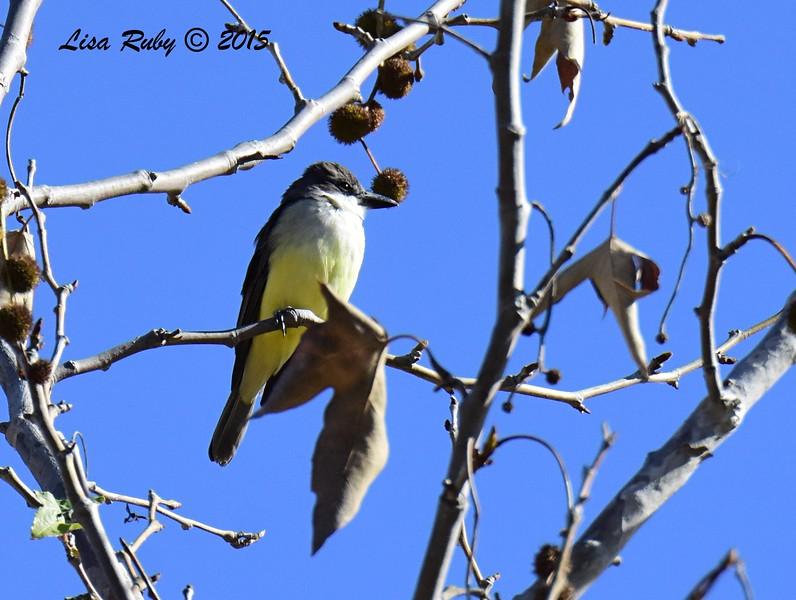 Thick-billed Kingbird - 12/31/2015 - Poggi Creek, Chula Vista