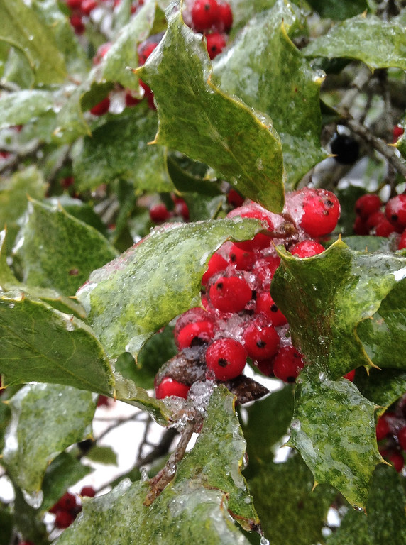 . Holly berries are coated with ice on a tree near Newburgh, Ind. in Warrick County on Friday morning, Dec. 6, 2013. A winter storm is dumping ice and snow on the area with predictions of possible 10-12 inches of snow.(AP Photo/The Evansville Courier & Press, Kevin Swank)