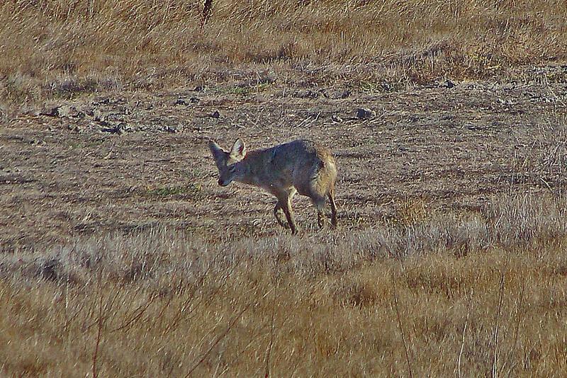 Coyote Las Gallinas