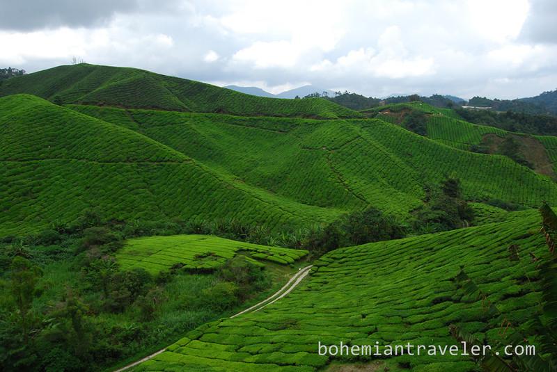 Cameron Highlands Malaysia Tea fields [Boh] (8).jpg