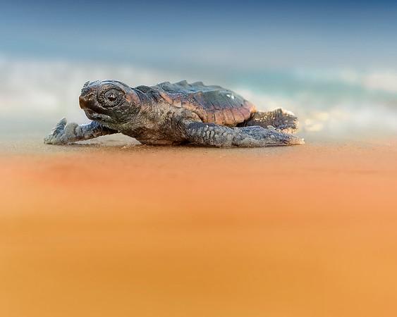 Loggerhead Sea Turtles of Kiawah Island, SC (7/19)