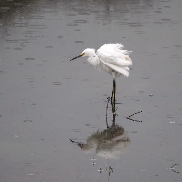 Snowy Egret in the rain