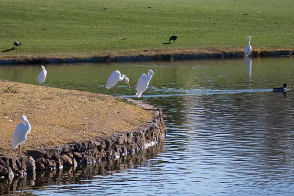 Arrowhead Country Club Egrets