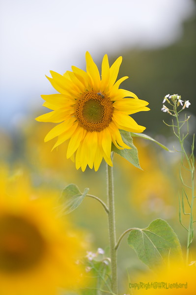 Sunflower Lonay_20092020 (72).JPG