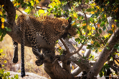 Leopard (Leopard)