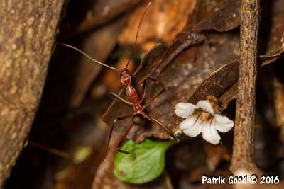 Black-shin Spider Ant
