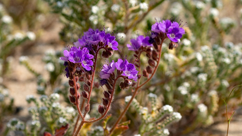 Notch-leaved Phacelia