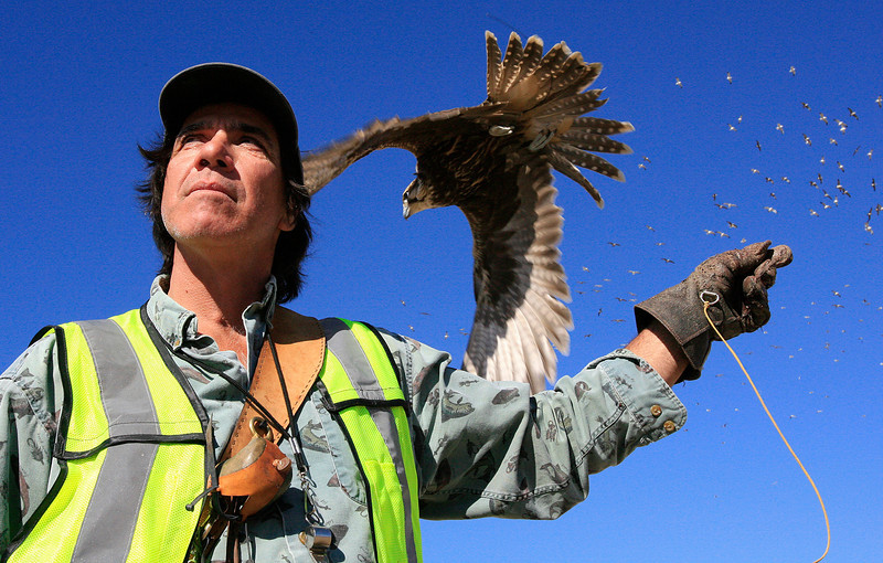 Craig Golden is a Master Falconer who works to keep landfills clear of seagulls. I produced a multimedia story that shares this, his great passion in life. Flying hawks and falcons, training them, hunting with them and caring for them is what defines his existence, but the work also has great environmental value. Flying up the Santa Maria River, more than 10,000 birds used to populate the Santa Maria landfill before Craig began working it. After three weeks of steady hazing that number dropped to about 1,500. And by shutting off their food supply, the ecological picture along the length of the river is also given the chance to return to normal as the gulls are forced back to the ocean. The effect is electrifying!  Nothing was posed to produce this shot - it just took just three days of continuous photography around Craig as he worked - plain old photojournalism. That's a Sakar Falcon from the Middle East. Above the falcon is the quarry, most of whom have already noted that a falcon is headed their way.