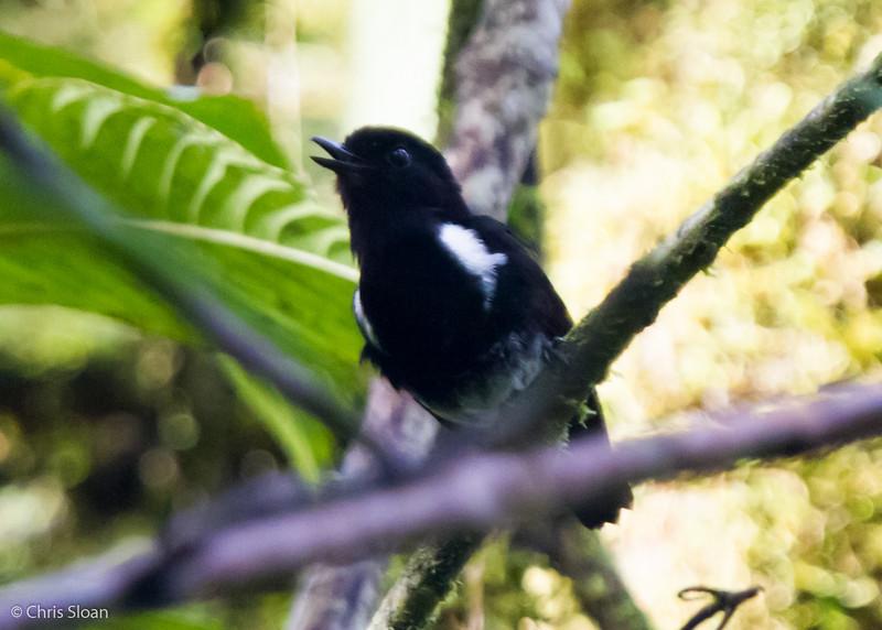White-rumped Robin at Dablin Creek, Tabubil, Papua New Guinea (10-09-2013) 1850.jpg