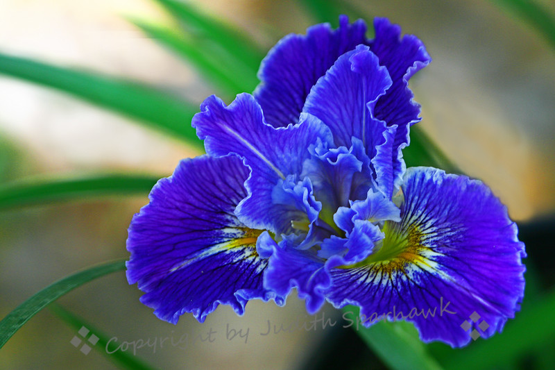 Wild Blue Iris Beauty.jpg
