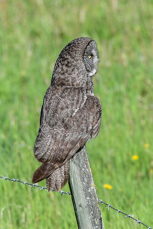 6-6-17 Great Gray Owl - Hunting I