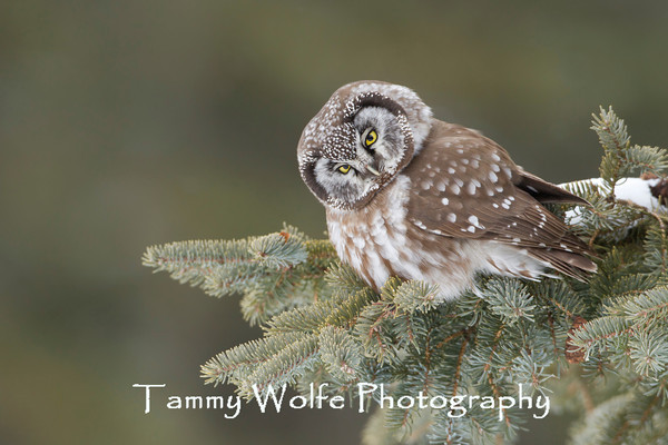 Owl, Boreal