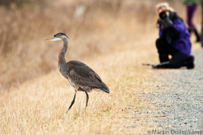 Great Blue Heron at Boundary Bay