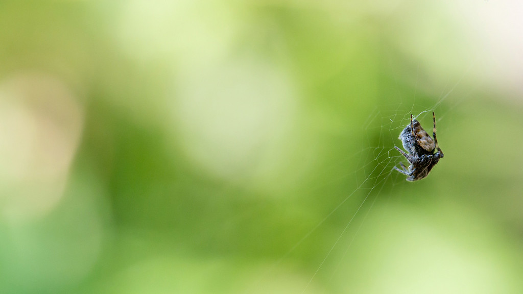 . A spider sits in wait on its web. (Pioneer Press: Andy Rathbun)