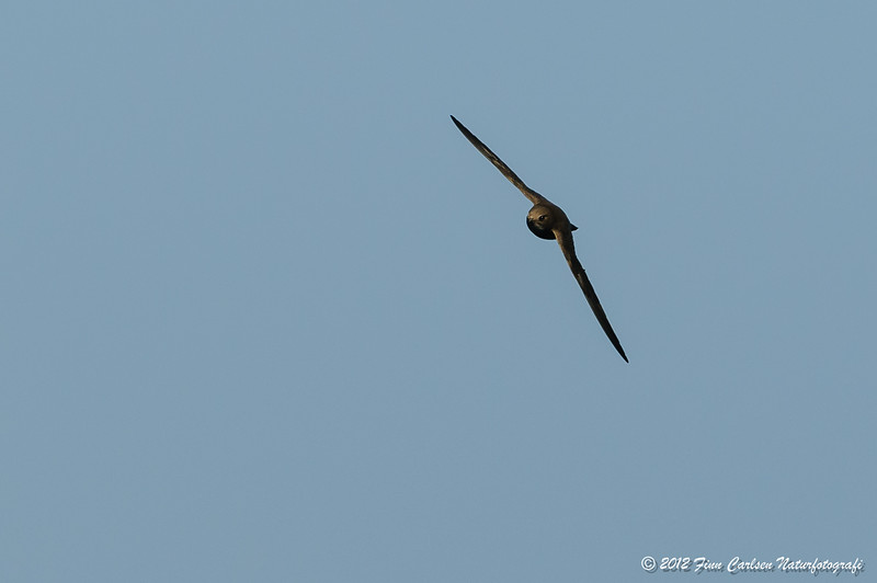 Alpesejler - Apus melba - Alpine Swift