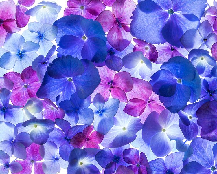 hydrangea-petals.jpg