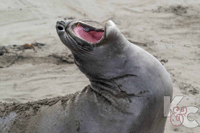 Young Female Elephant Seal