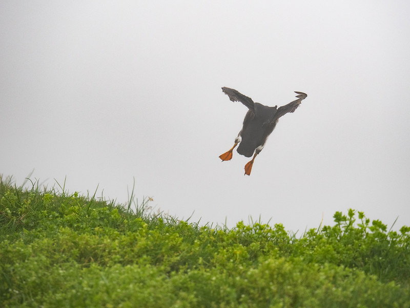 Geronimo! This is actually a puffin coming in to land. Someone who saw the picture said it looked like the puffin was bouncing on a trampoline, and I can't get that image out of my head now!