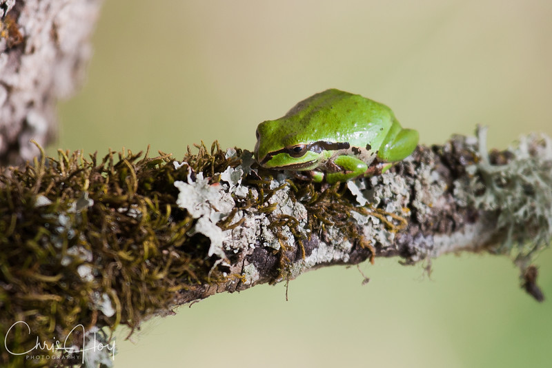 Tree Frog at Ridgefield National Wildlife Refuge