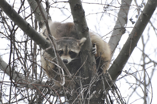 New Wildlife Photos!Follow The Osprey's Progress With Me...And check out the racoon I caught sleeping in the tree.
