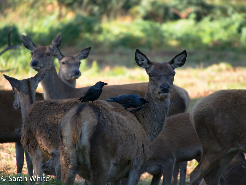 Deer rut_260915_587.jpg