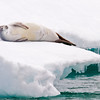 Crabeater Seal Resting on Iceberg