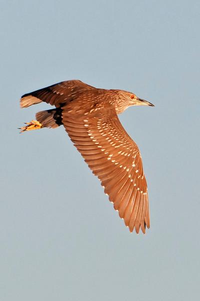 Night-Heron - Black-crowned - juvenile - Apalachicola, FL