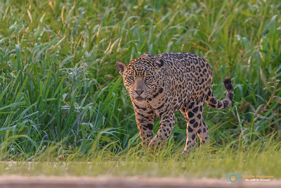 Jaguars and Wildlife of the Pantanal