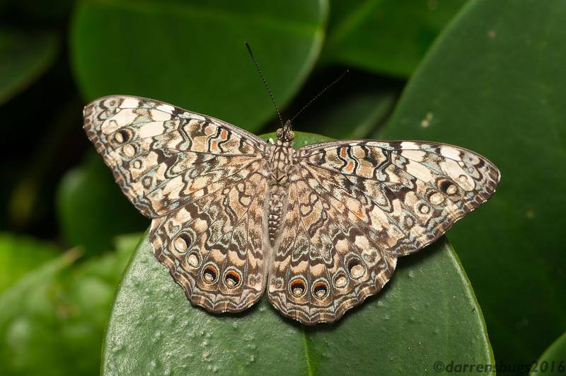 Gray Cracker (Hamadryas februa) from Belize.