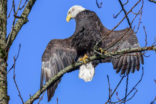 11-22-17 Bald Eagle In The Sun - Harrison Mills
