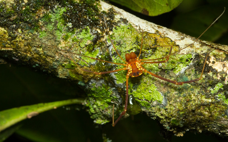 Harvestman (Cosmetidae: possibly Cynorta sp.) from the Cocobolo Nature Reserve in the Panamanian rainforest.