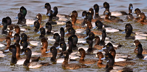Waterfowl & Shorebirds