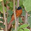Madagascar Paradise Flycatcher - female