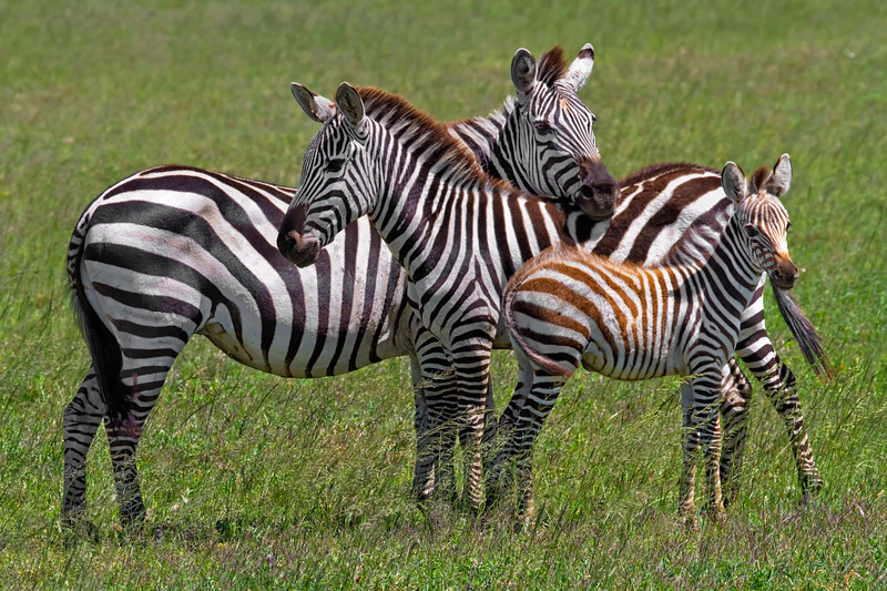 Plains Zebra (Equus quagga) Family