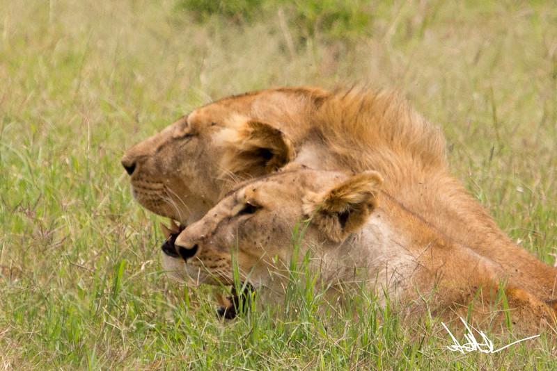 Lions Serengeti - S-11.jpg